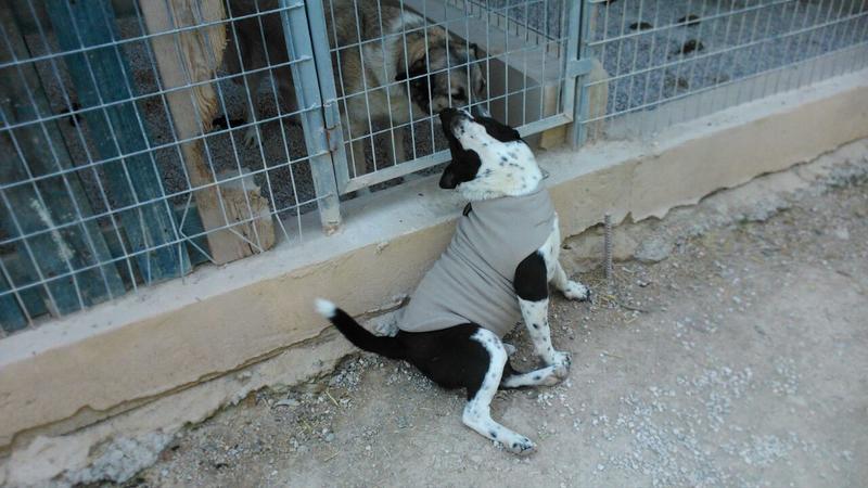 Bildertagebuch - Choped, lustiger Terriermix... - in Spanien ZUHAUSE GEFUNDEN! 21304117do