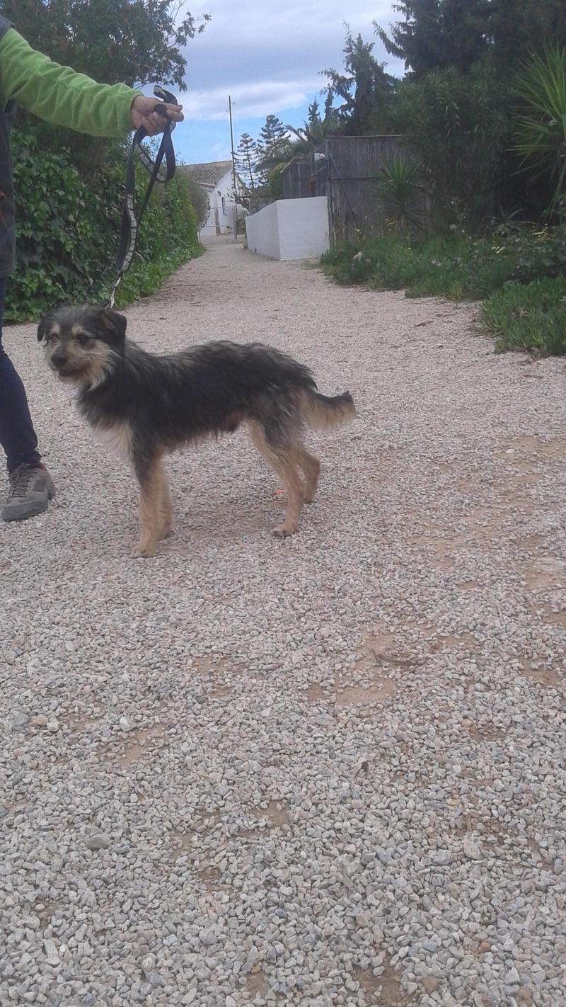 Bildertagebuch - Nepomuk, der verschmuste, braun-schwarzer Terrier Mischling...in Spanien sein ZUHAUSE GEFUNDEN! 21490922th