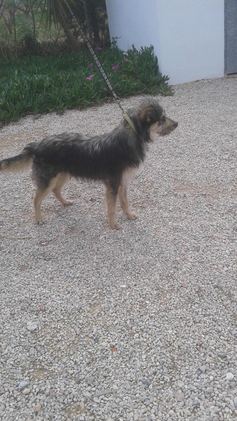 Bildertagebuch - Nepomuk, der verschmuste, braun-schwarzer Terrier Mischling...in Spanien sein ZUHAUSE GEFUNDEN! 21490924ct