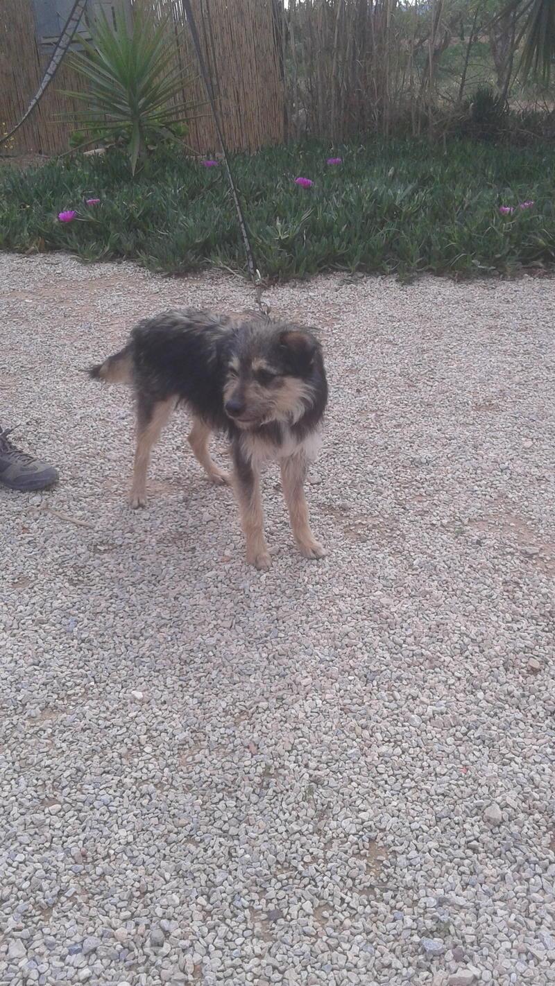 Bildertagebuch - Nepomuk, der verschmuste, braun-schwarzer Terrier Mischling...in Spanien sein ZUHAUSE GEFUNDEN! 21490925az