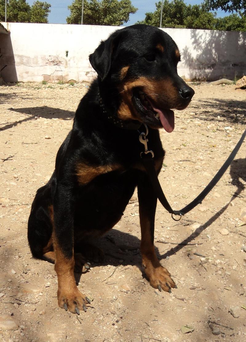 Bildertagebuch - Zoeh, verschmußte Rottweiler (-Mix) Dame mit wunderschönem Gesicht ... hat ihr ZUHAUSE in Spanien gefunden! 21522181el