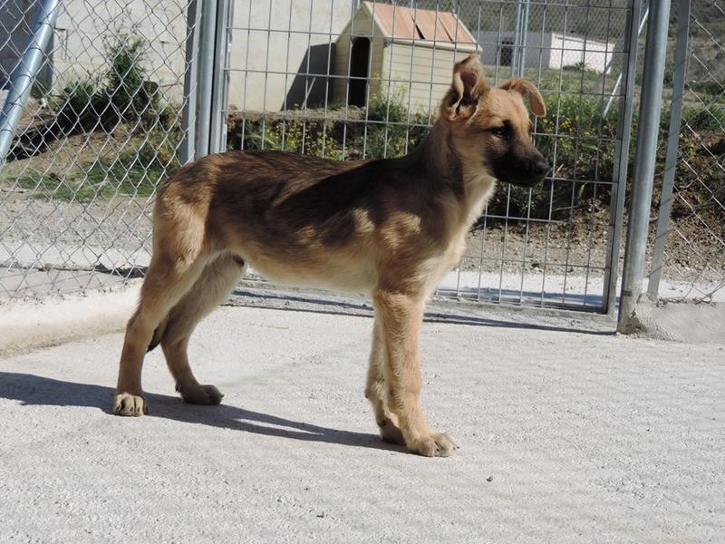 Bildertagebuch - Kito, junger und wunderschöner Hundejunge ... ein Hundekumpel fürs Leben - hat in Spanien sein ZUHAUSE gefunden! 21614568mo