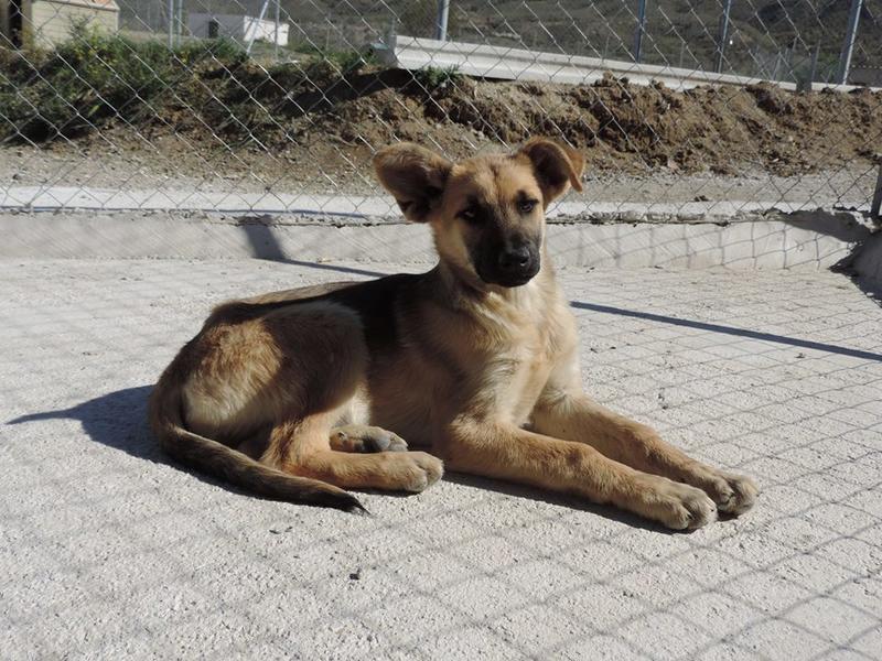 Bildertagebuch - Kito, junger und wunderschöner Hundejunge ... ein Hundekumpel fürs Leben - hat in Spanien sein ZUHAUSE gefunden! 21614569rp