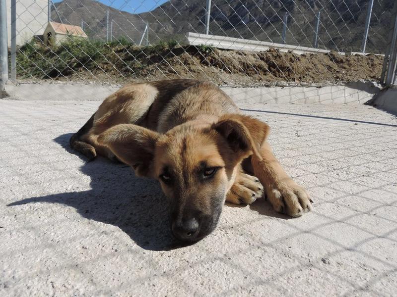 Bildertagebuch - Kito, junger und wunderschöner Hundejunge ... ein Hundekumpel fürs Leben - hat in Spanien sein ZUHAUSE gefunden! 21614570yh