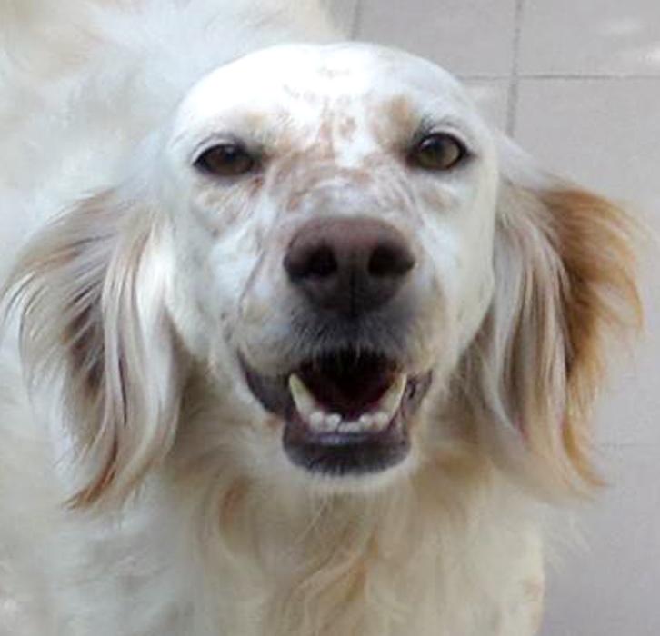 Bildertagebuch - Missi, wunderschöne Settermaus ... mit einem süßen Lachen im Gesicht - in Italien ZUHAUSE GEFUNDEN! 21719453ta