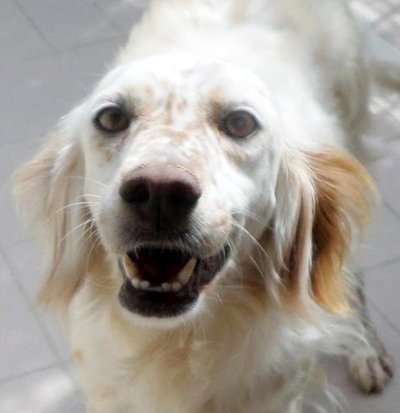Bildertagebuch - Missi, wunderschöne Settermaus ... mit einem süßen Lachen im Gesicht - in Italien ZUHAUSE GEFUNDEN! 21719460ml