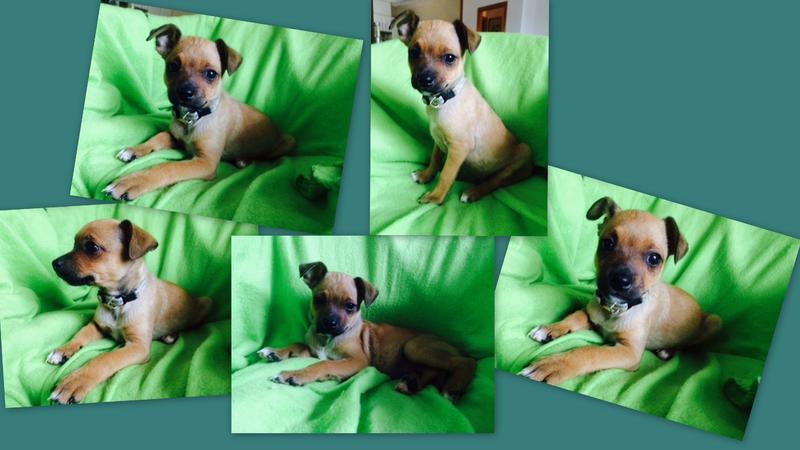 Bildertagebuch - Nacho, herziger kleiner Hundeschnuggel ...VERMITTELT! 21876193zm
