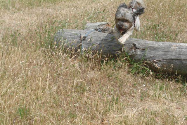 Zulu............mein kleiner Pflegehund 22317678pm