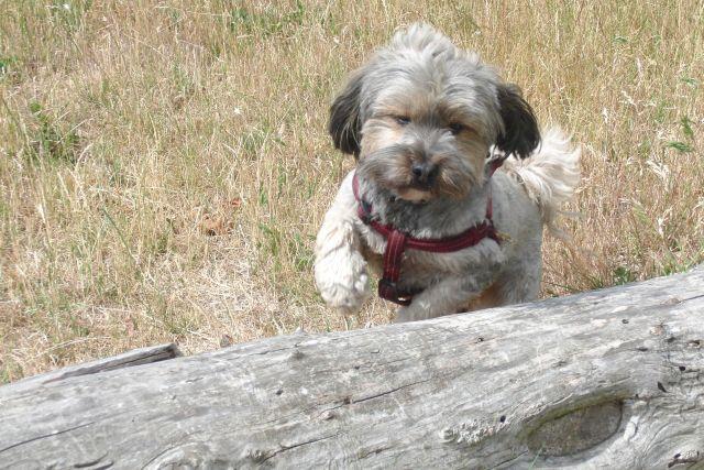 Zulu............mein kleiner Pflegehund 22317679um