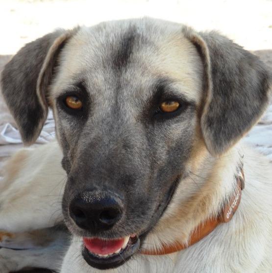 Bildertagebuch - Tulip, freundliches und liebes Hundemädchen ... ihr einsames Leben hat ein Ende - in England ZUHAUSE GEFUNDEN! 22358991gp