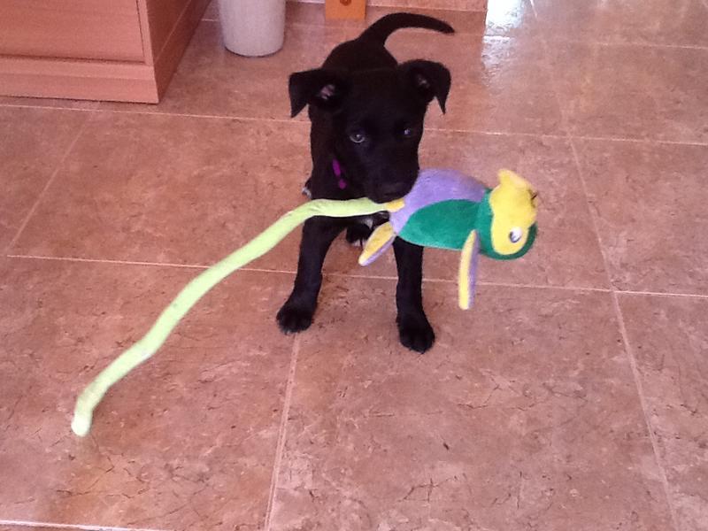Bildertagebuch - Marley, ein süßes verspieltes Hundekind möchte noch viel lernen ... hat in Spanien sein ZUHAUSE gefunden! 22627445kc