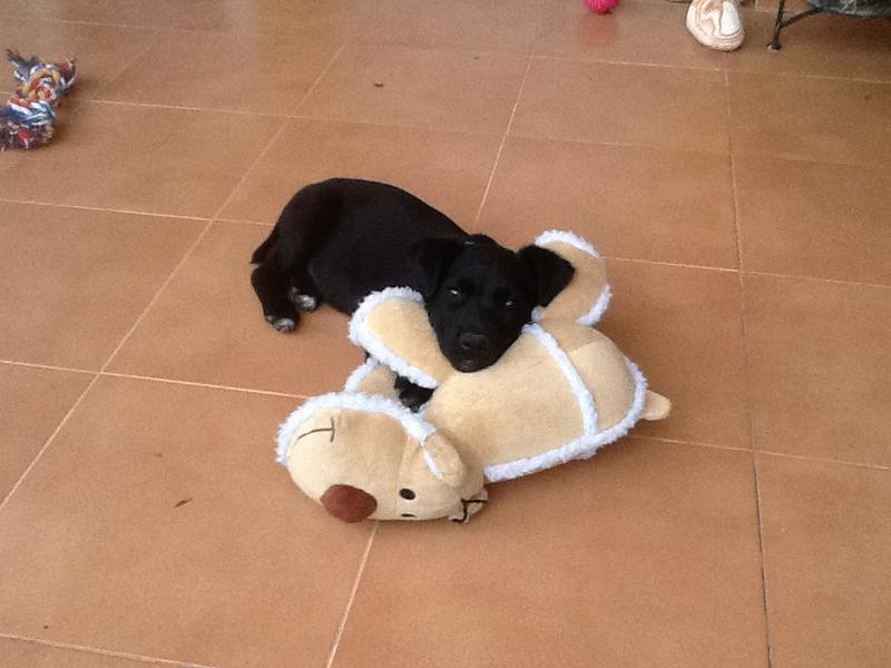 Bildertagebuch - Marley, ein süßes verspieltes Hundekind möchte noch viel lernen ... hat in Spanien sein ZUHAUSE gefunden! 22627446sm