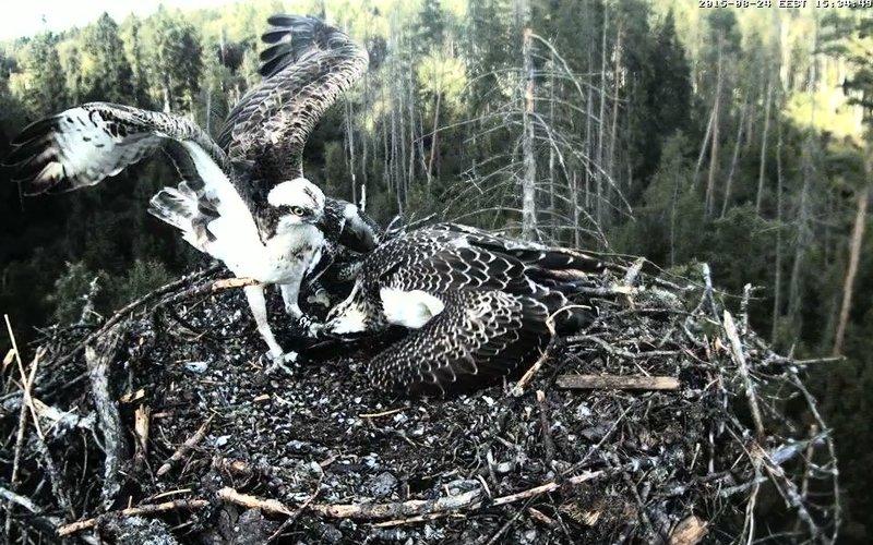 Estonian Osprey Nest ~Irma & Joosep~ (I&I)DOCUMENTATION 2015 - Page 2 22910892sn