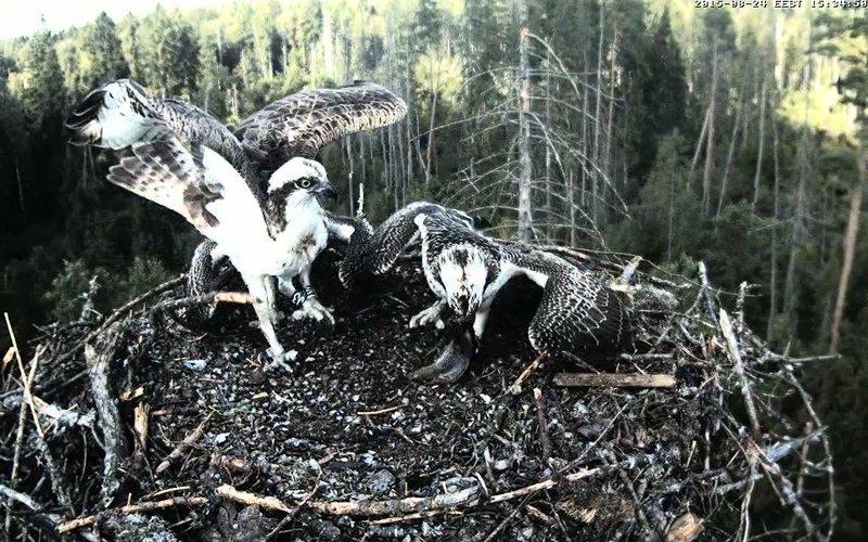 Estonian Osprey Nest ~Irma & Joosep~ (I&I)DOCUMENTATION 2015 - Page 2 22910894eu