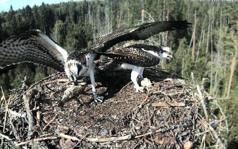 Estonian Osprey Nest ~Irma & Joosep~ (I&I)DOCUMENTATION 2015 - Page 2 22911037yq