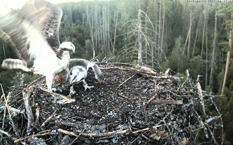 Estonian Osprey Nest ~Irma & Joosep~ (I&I)DOCUMENTATION 2015 - Page 2 22915791lw
