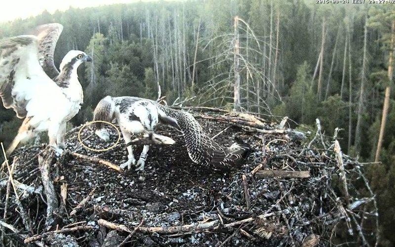 Estonian Osprey Nest ~Irma & Joosep~ (I&I)DOCUMENTATION 2015 - Page 2 22915792ti