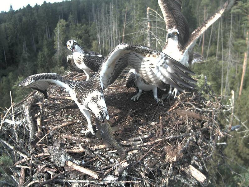 Estonian Osprey Nest ~Irma & Joosep~ (I&I)DOCUMENTATION 2015 22939382jt