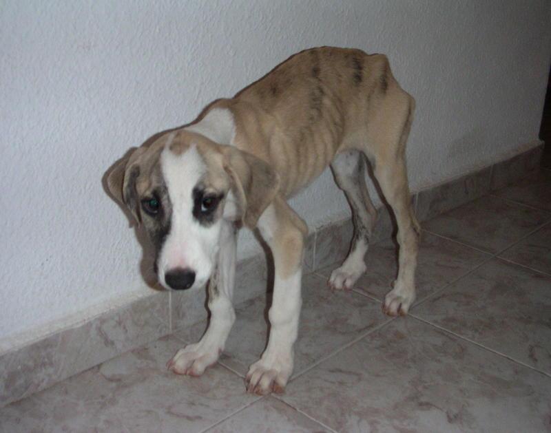 Bildertagebuch - Fabia, abgemagertes kleines Hundemädchen sollte getötet werden ... die arme Maus hatte großes Glück!- hat in SPANIEN IHR ZUHAUSE GEFUNDEN! 22951246jw