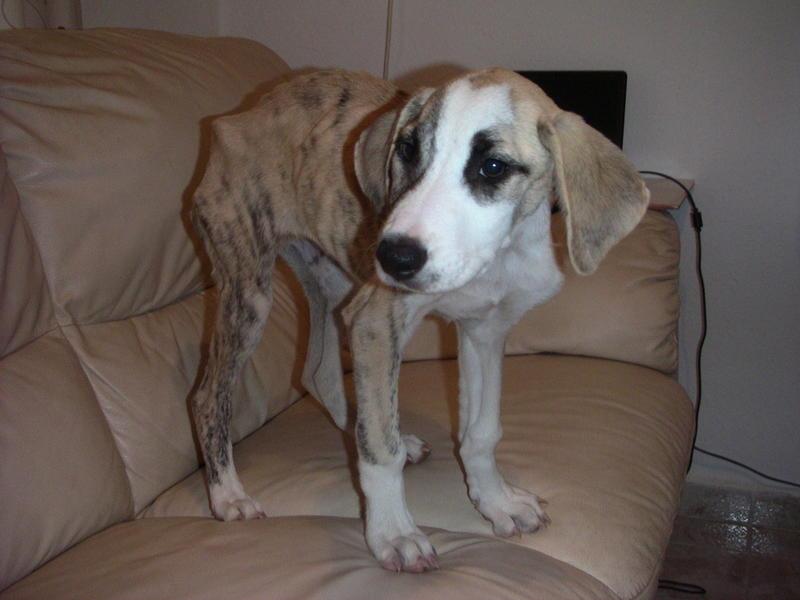 Bildertagebuch - Fabia, abgemagertes kleines Hundemädchen sollte getötet werden ... die arme Maus hatte großes Glück!- hat in SPANIEN IHR ZUHAUSE GEFUNDEN! 22951249bc