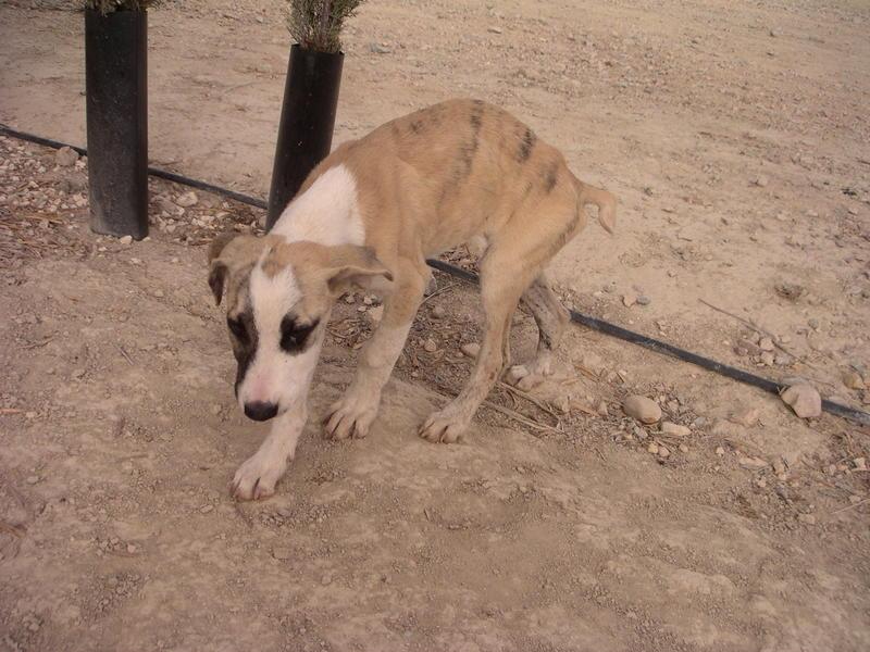Bildertagebuch - Fabia, abgemagertes kleines Hundemädchen sollte getötet werden ... die arme Maus hatte großes Glück!- hat in SPANIEN IHR ZUHAUSE GEFUNDEN! 22951250cf