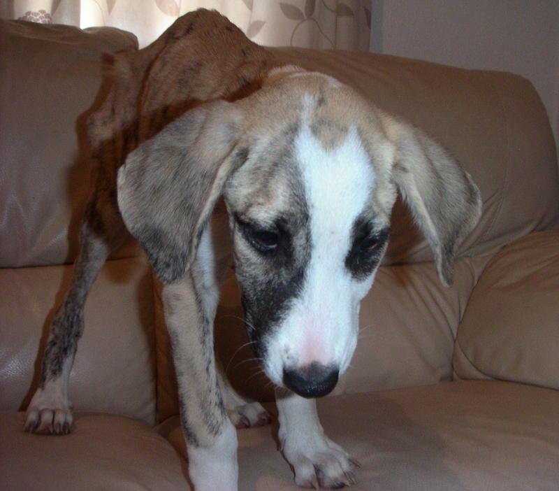 Bildertagebuch - Fabia, abgemagertes kleines Hundemädchen sollte getötet werden ... die arme Maus hatte großes Glück!- hat in SPANIEN IHR ZUHAUSE GEFUNDEN! 22951252cu