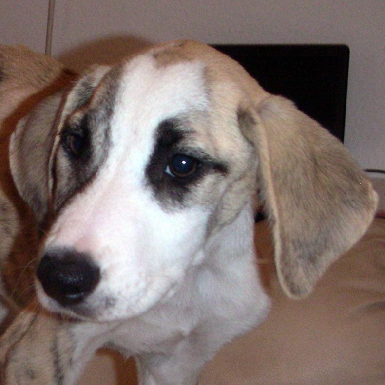 Bildertagebuch - Fabia, abgemagertes kleines Hundemädchen sollte getötet werden ... die arme Maus hatte großes Glück!- hat in SPANIEN IHR ZUHAUSE GEFUNDEN! 22951253kb