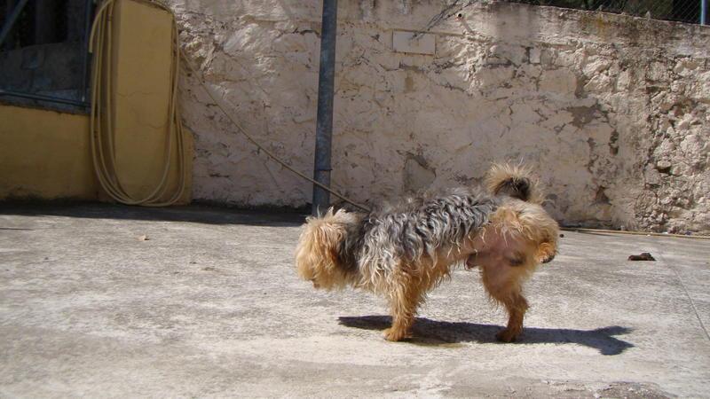 Bildertagebuch - Nolo, kleiner niedlicher Yorki sucht schnell eine Familie ... er möchte nicht mehr eingesperrt sein - Hat in Spanien sein ZUHAUSE GEFUNDEN!!! 22979524ad