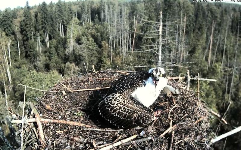 Estonian Osprey Nest ~Irma & Joosep~ (I&I)DOCUMENTATION 2015 - Page 21 23136119gu