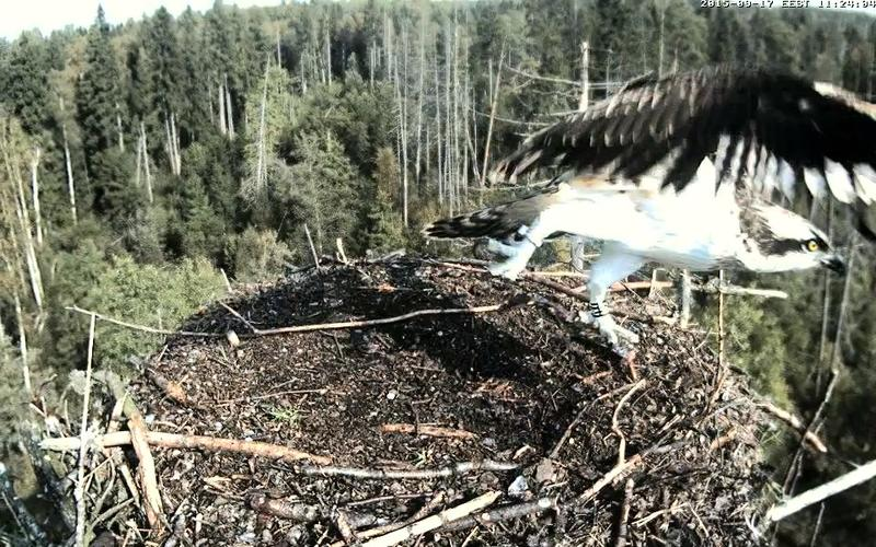 Estonian Osprey Nest ~Irma & Joosep~ (I&I)DOCUMENTATION 2015 - Page 21 23136123nz