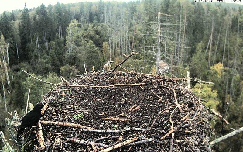 Estonian Osprey Nest ~Irma & Joosep~ (I&I)DOCUMENTATION 2015 - Page 22 23177294wo