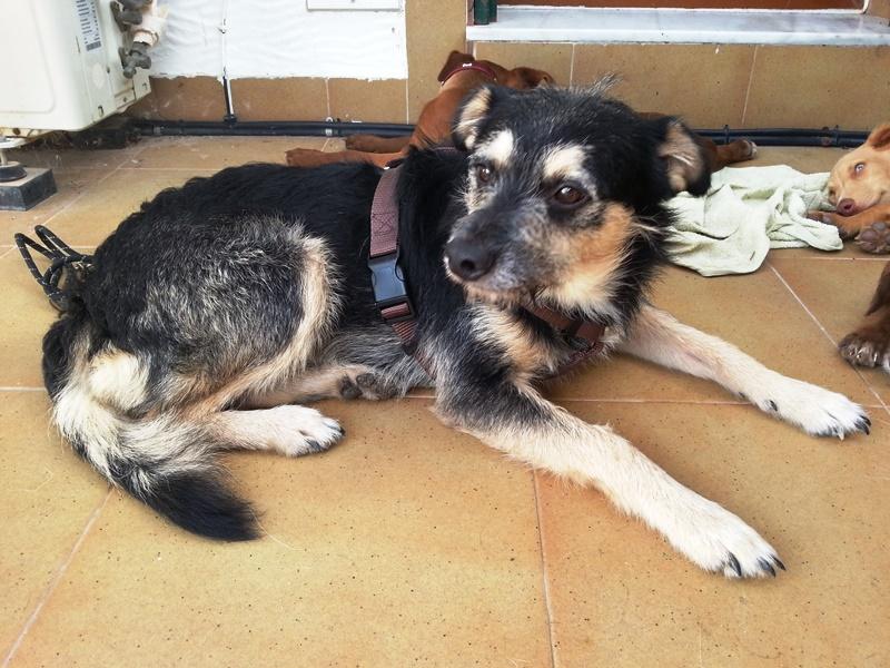 Bildertagebuch - Nepomuk, der verschmuste, braun-schwarzer Terrier Mischling...in Spanien sein ZUHAUSE GEFUNDEN! 23414162jm