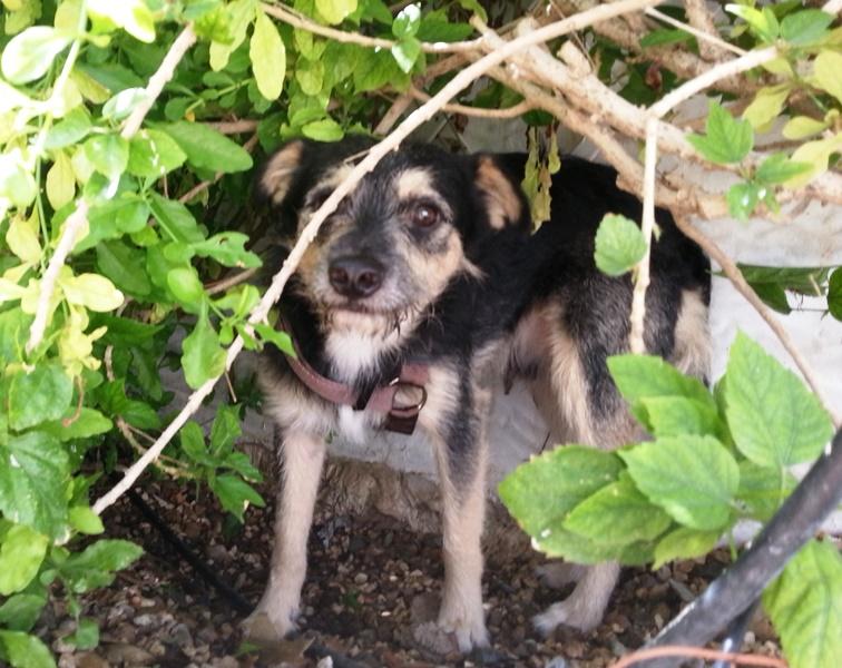 Bildertagebuch - Nepomuk, der verschmuste, braun-schwarzer Terrier Mischling...in Spanien sein ZUHAUSE GEFUNDEN! 23414165fg