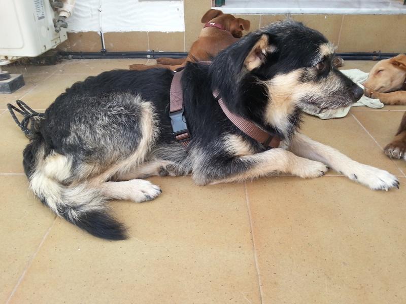 Bildertagebuch - Nepomuk, der verschmuste, braun-schwarzer Terrier Mischling...in Spanien sein ZUHAUSE GEFUNDEN! 23414167xp