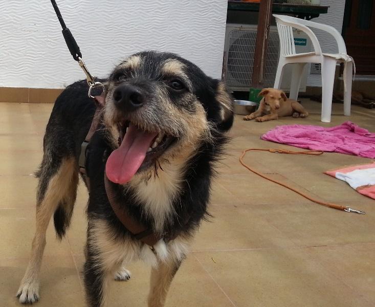 Bildertagebuch - Nepomuk, der verschmuste, braun-schwarzer Terrier Mischling...in Spanien sein ZUHAUSE GEFUNDEN! 23414171pa