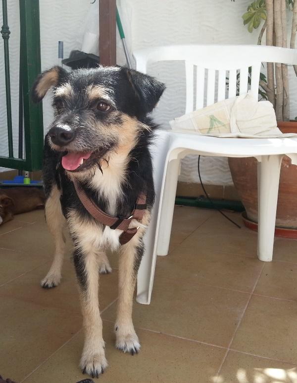 Bildertagebuch - Nepomuk, der verschmuste, braun-schwarzer Terrier Mischling...in Spanien sein ZUHAUSE GEFUNDEN! 23414198pv