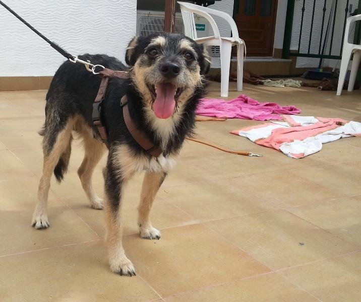 Bildertagebuch - Nepomuk, der verschmuste, braun-schwarzer Terrier Mischling...in Spanien sein ZUHAUSE GEFUNDEN! 23414199ew