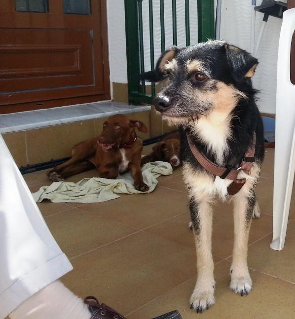 Bildertagebuch - Nepomuk, der verschmuste, braun-schwarzer Terrier Mischling...in Spanien sein ZUHAUSE GEFUNDEN! 23414201eh