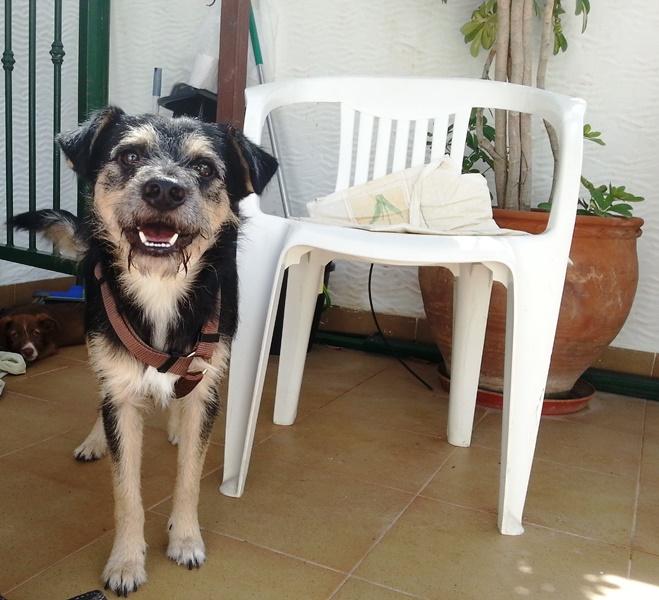 Bildertagebuch - Nepomuk, der verschmuste, braun-schwarzer Terrier Mischling...in Spanien sein ZUHAUSE GEFUNDEN! 23414202in