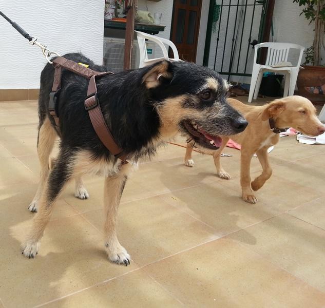 Bildertagebuch - Nepomuk, der verschmuste, braun-schwarzer Terrier Mischling...in Spanien sein ZUHAUSE GEFUNDEN! 23414203yg