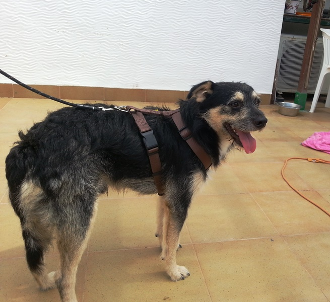 Bildertagebuch - Nepomuk, der verschmuste, braun-schwarzer Terrier Mischling...in Spanien sein ZUHAUSE GEFUNDEN! 23414205qk