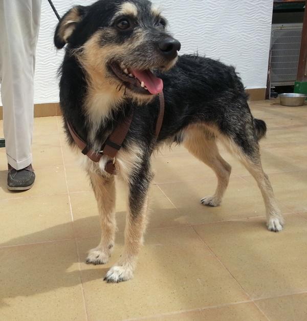 Bildertagebuch - Nepomuk, der verschmuste, braun-schwarzer Terrier Mischling...in Spanien sein ZUHAUSE GEFUNDEN! 23414214um