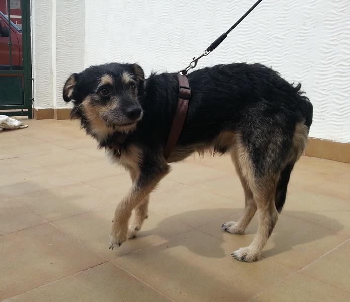 Bildertagebuch - Nepomuk, der verschmuste, braun-schwarzer Terrier Mischling...in Spanien sein ZUHAUSE GEFUNDEN! 23414216uc