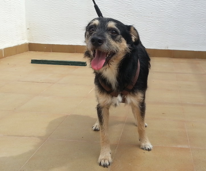 Bildertagebuch - Nepomuk, der verschmuste, braun-schwarzer Terrier Mischling...in Spanien sein ZUHAUSE GEFUNDEN! 23414218tq
