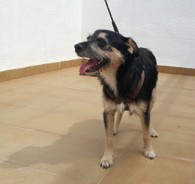 Bildertagebuch - Nepomuk, der verschmuste, braun-schwarzer Terrier Mischling...in Spanien sein ZUHAUSE GEFUNDEN! 23414219zg