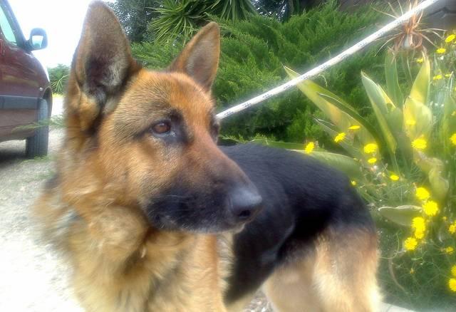 Bildertagebuch - Luke: ein wunderbarer Schäferhund sucht sein Sofa - VERMITTELT! 23525068qb