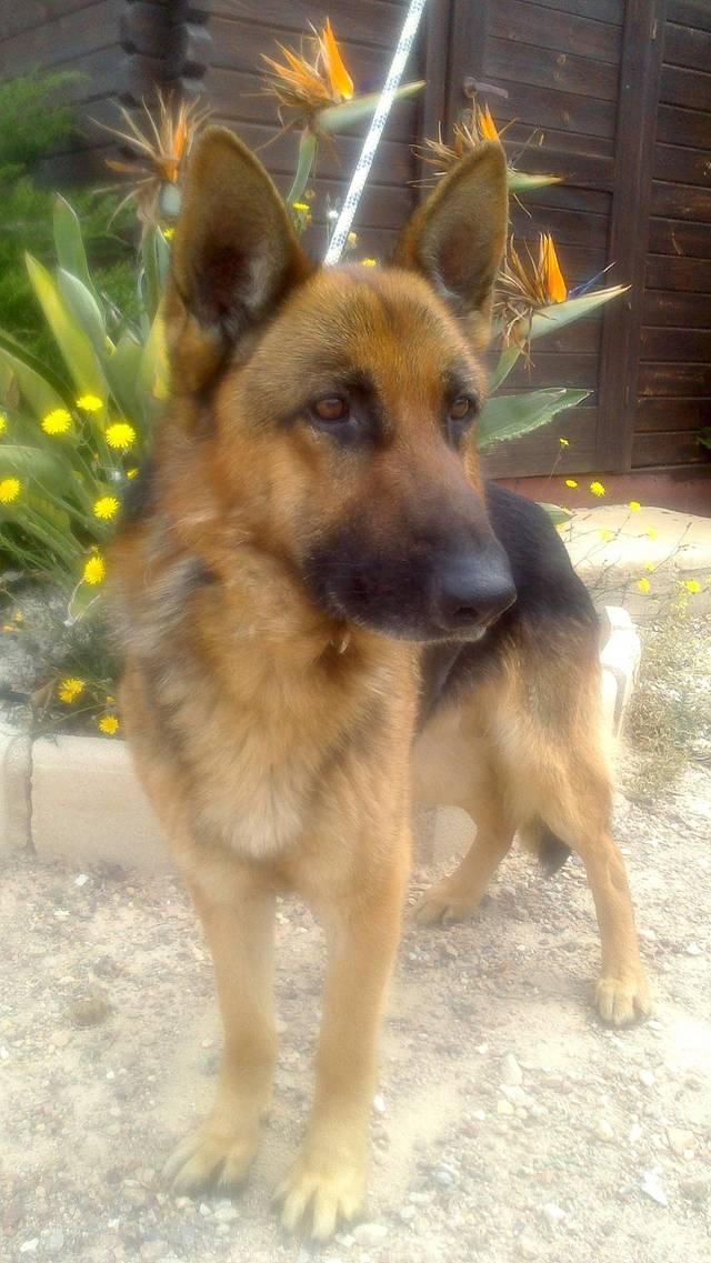 Bildertagebuch - Luke: ein wunderbarer Schäferhund sucht sein Sofa - VERMITTELT! 23525069yf