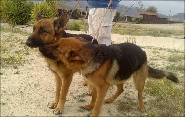 Bildertagebuch - Luke: ein wunderbarer Schäferhund sucht sein Sofa - VERMITTELT! 23525072hy
