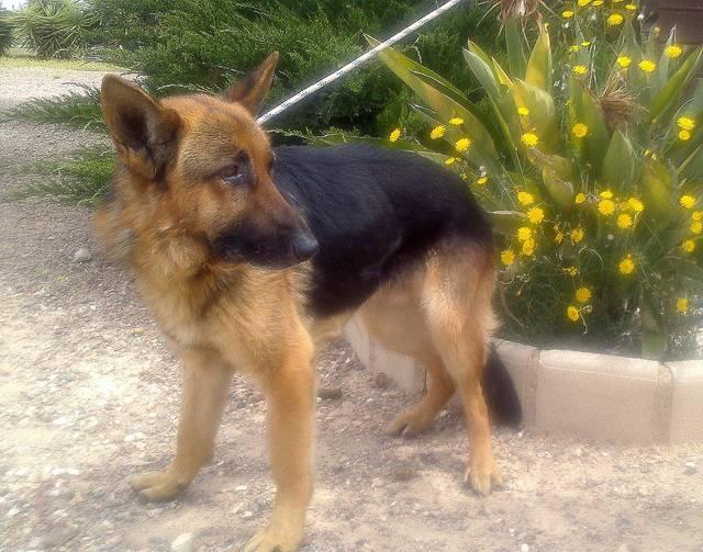 Bildertagebuch - Luke: ein wunderbarer Schäferhund sucht sein Sofa - VERMITTELT! 23525073un