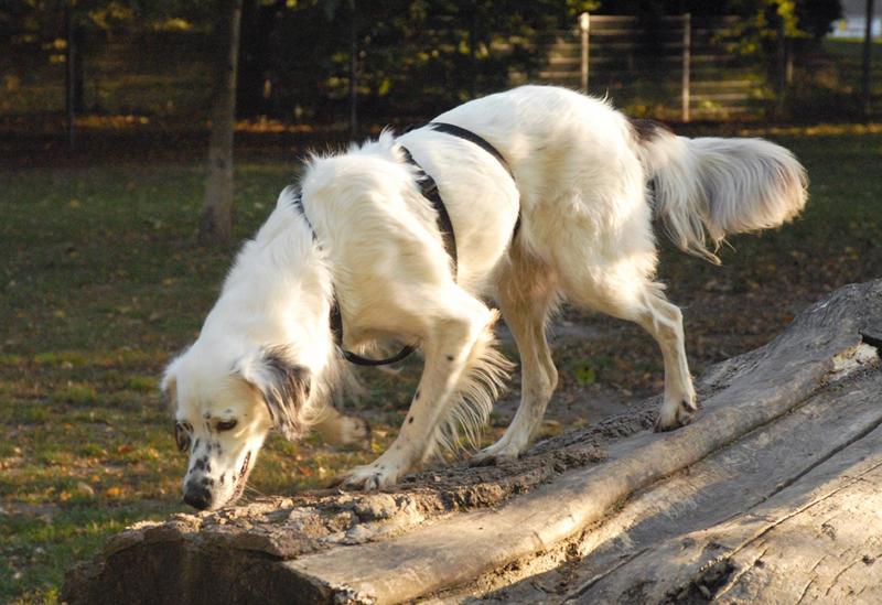 Bildertagebuch - Sissi, die Maus ist eine echte Schönheit und der perfekte Familienhund ... -- VERMITTELT -- 23556891tv